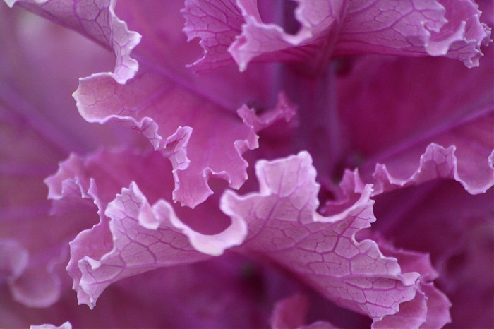 photoblog image Purple Leaf